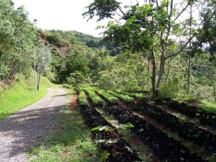 Nursery for coffee plants