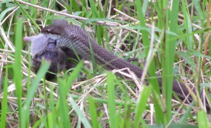 Snake eating mole