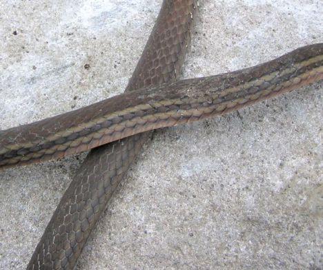 close up of scale pattern, viper