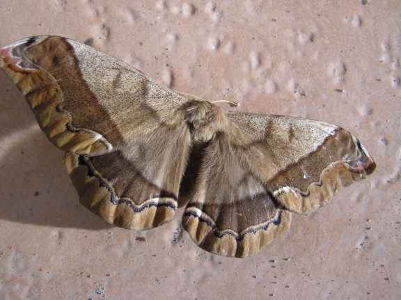 six inch wingspan moth