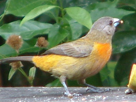 Female scarlet rump tanager