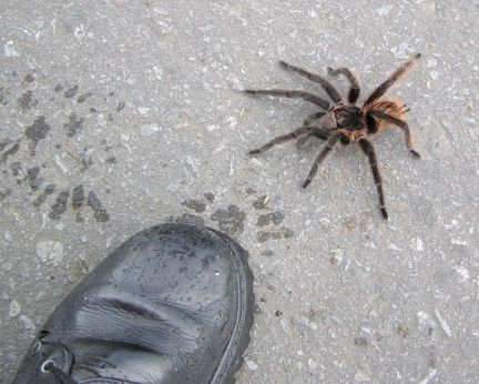 Tarantula getting the boot