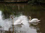 Swans at El Nispero.