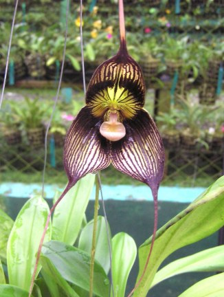 Big Momma, Dracula orchid