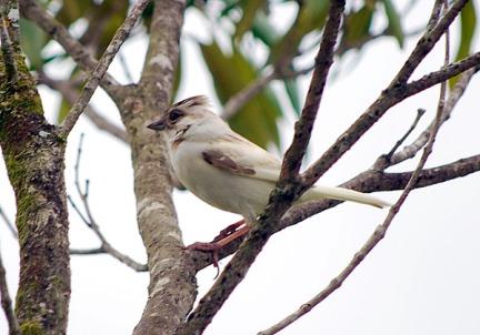 Maria vega, albino white sparrow