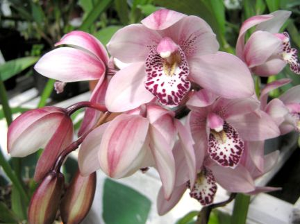 Orchids; Rolls-Royce of flowers