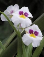 Orchids: the crowning glory for some visitors to the Flower Capital of Panama