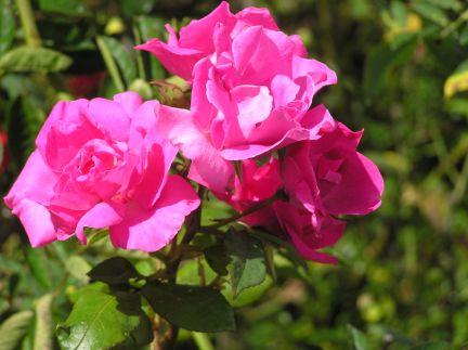 Famous flowers